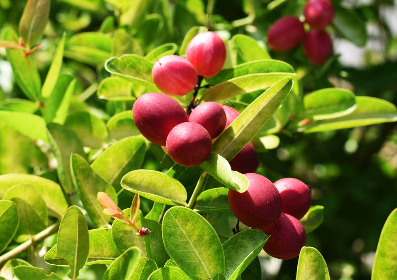 Best Fruit Plants to Grow in Your Home Garden